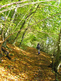 Heading east on the Short Lythe path, a section of the Hangers Way. 230