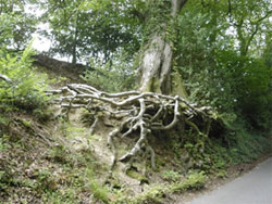 """exposed tree roots"" as the road climbs up towards Selborne."