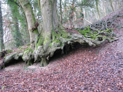mature beech above Love Lane